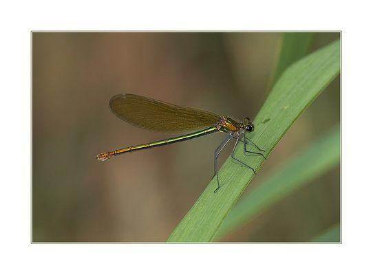Gebänderte Prachtlibelle (Calopteryx splendens) Weibchen