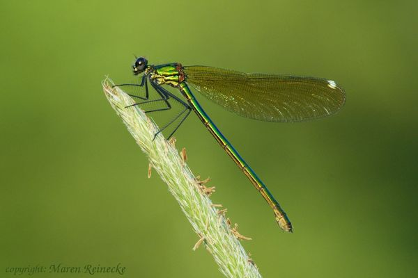 Gebänderte Prachtlibelle (weibl.) - Calopteryx splendens