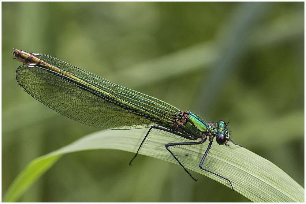 Gebänderte Prachtlibelle,w (Calopteryx splendens),