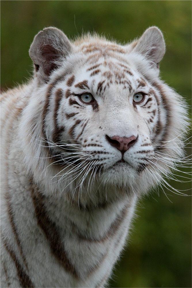 Gebleichter Tiger