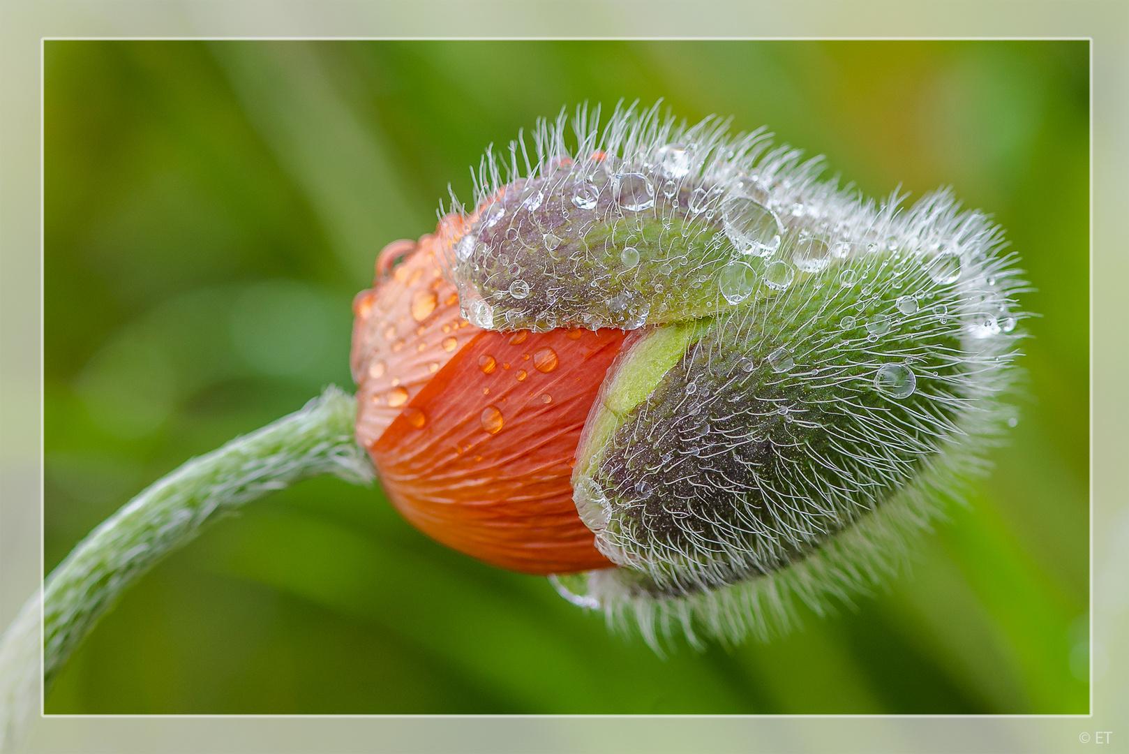 Geburt der Mohnblume