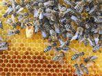Geburt einer Bienenkönigin