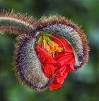 Geburt einer Islandmohnblüte