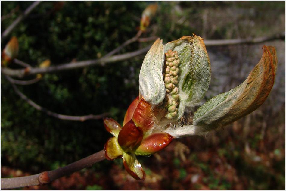 Geburt einer Kastanienblüte