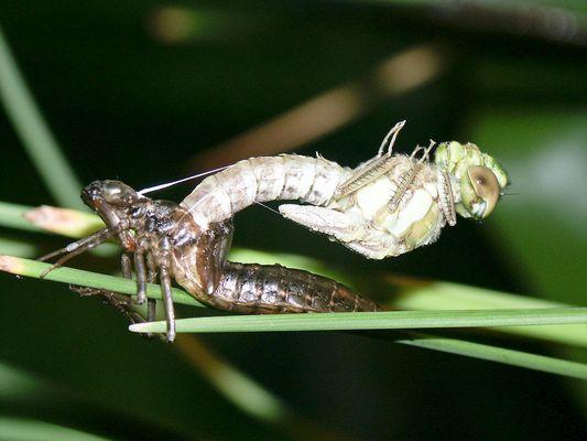 """""""Geburt"""" einer Libelle"""
