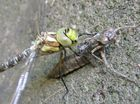 Geburt einer Libelle