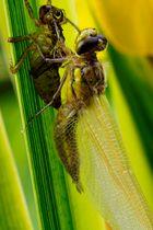 Geburt einer Libelle II