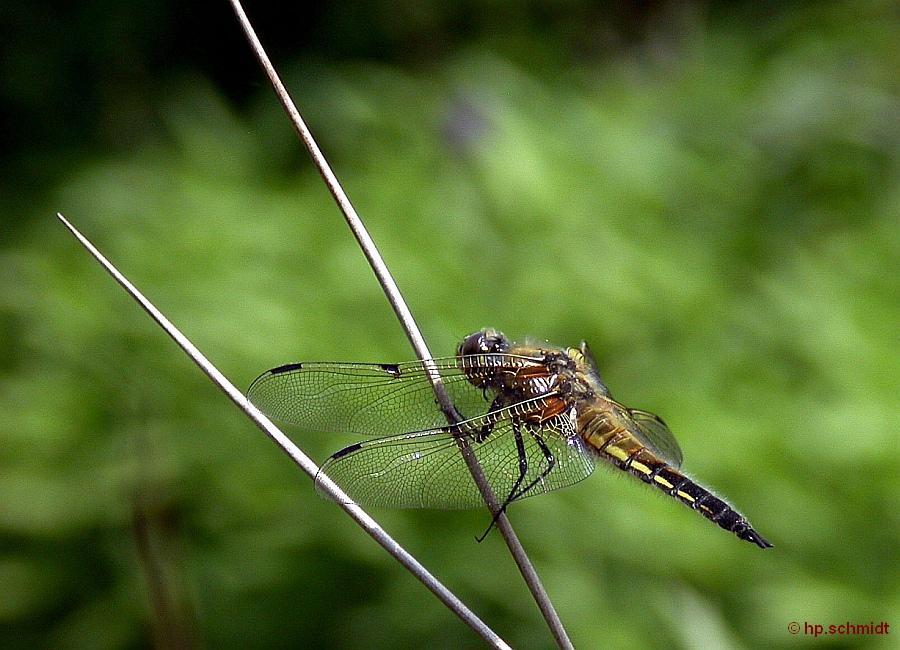 Geburt einer Libelle4