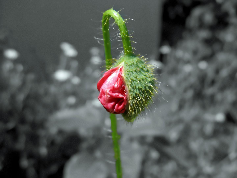 Geburt einer Mohnblume