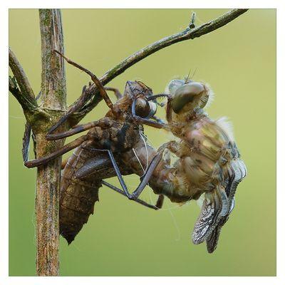Geburt einer Smaragdlibelle