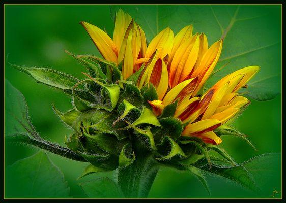 Geburt einer Sonnenblume
