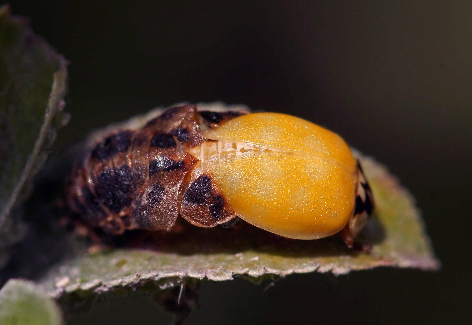 Geburt eines Marienkäfers
