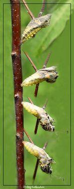Geburt eines Schwalbenschwanzes