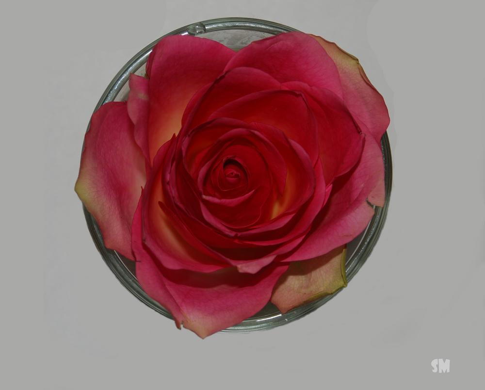 Geburtstags-Rose