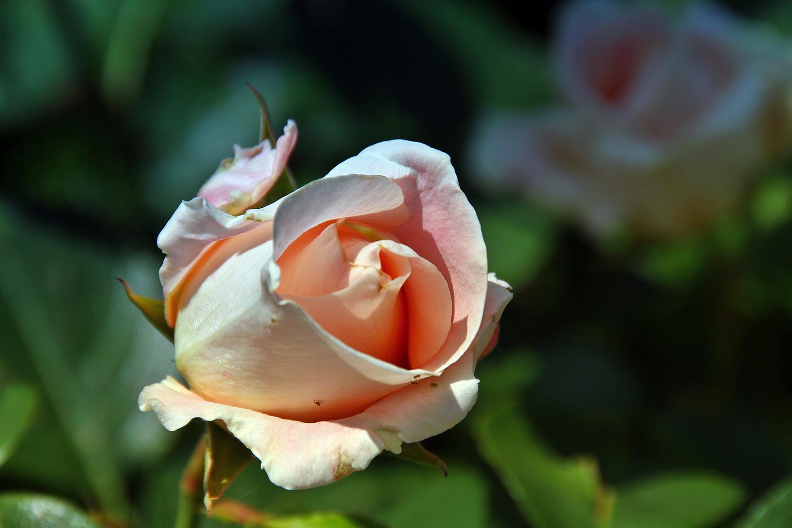 geburtstagsw nsche foto bild pflanzen pilze flechten bl ten kleinpflanzen rosen. Black Bedroom Furniture Sets. Home Design Ideas