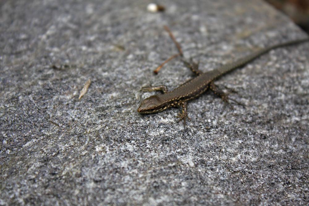 Gecko auf der Insel Mainau
