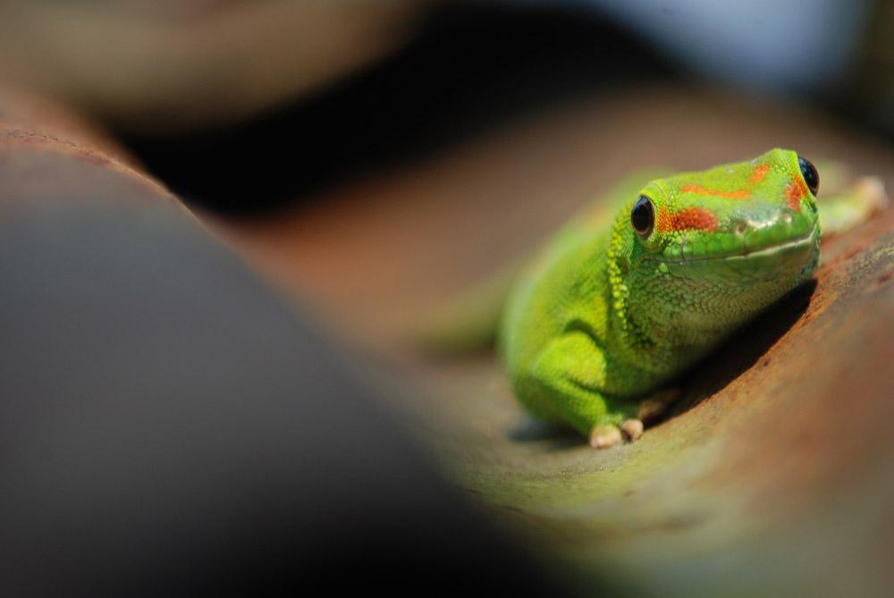 Gecko auf Wellblechdach
