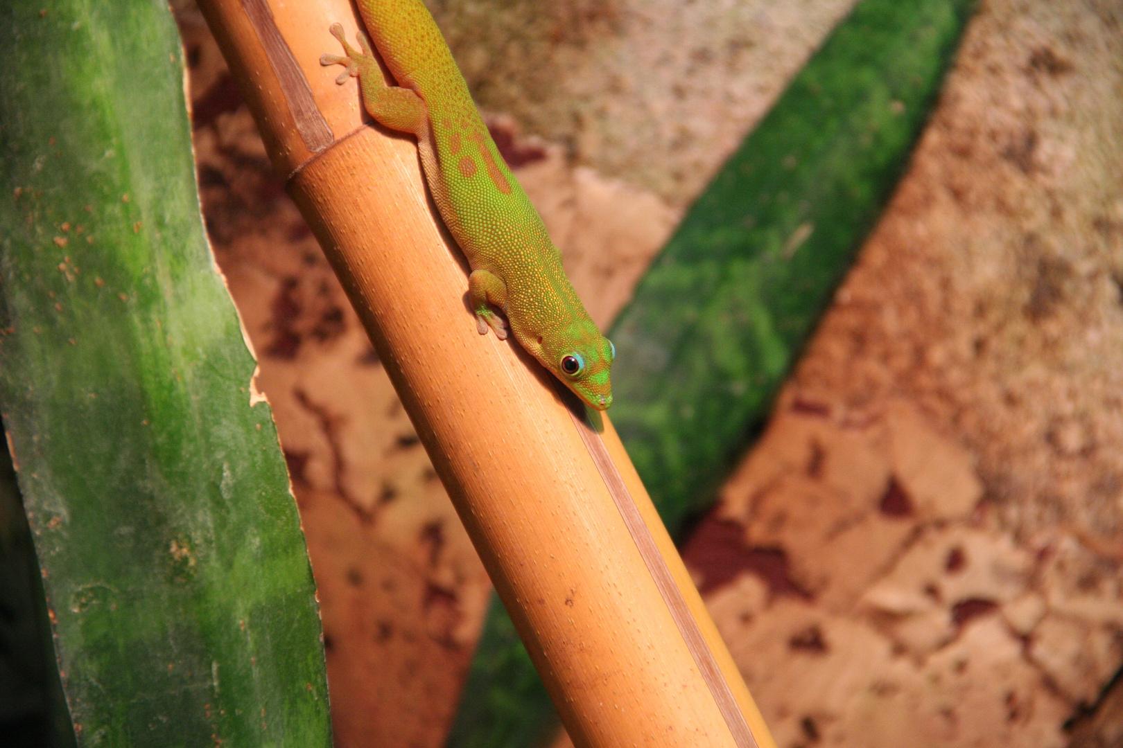 Gecko Biosphäre Potsdam
