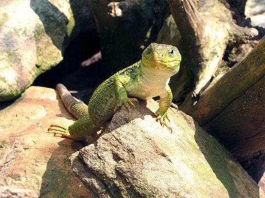Gecko.........