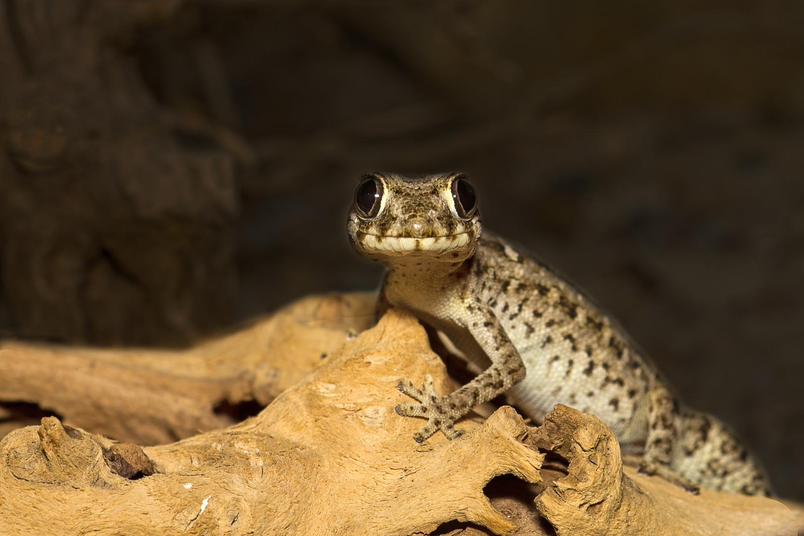 Gecko-Dame