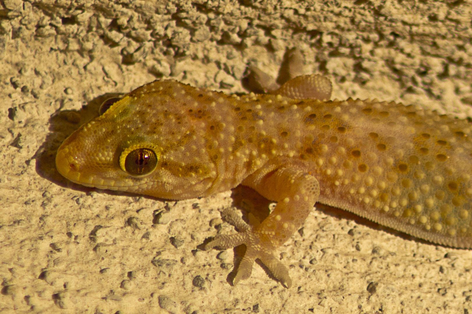 Gecko Glotzberg