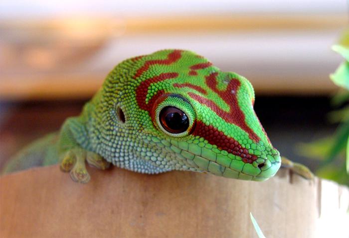 Gecko III