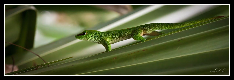 Gecko in der Masoala Halle