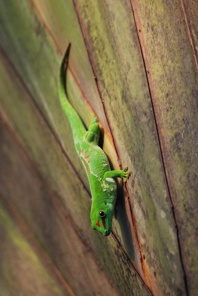 Gecko kopfüber