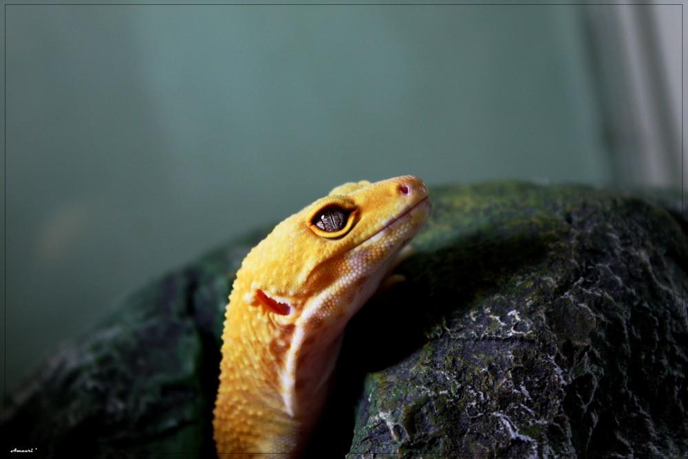 Gecko Leopard