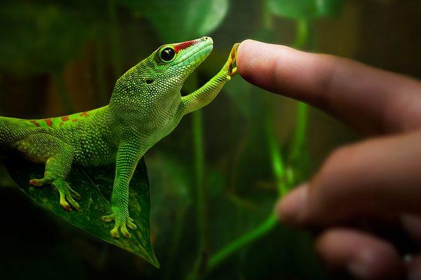 Gecko-Liebe