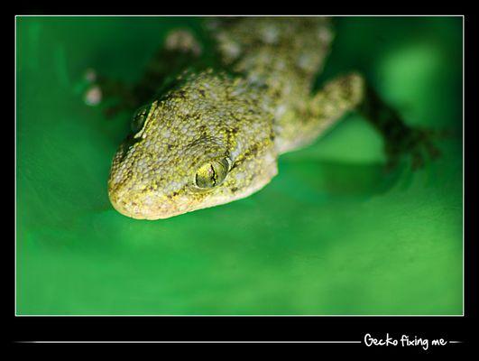 Gecko looking @ me