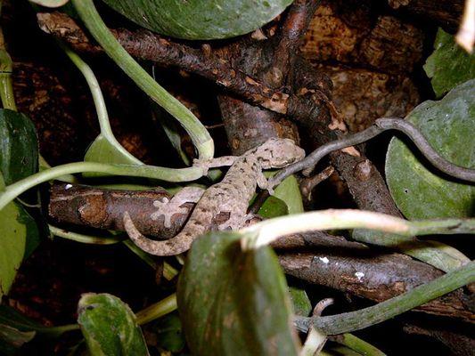 Gecko Martinique