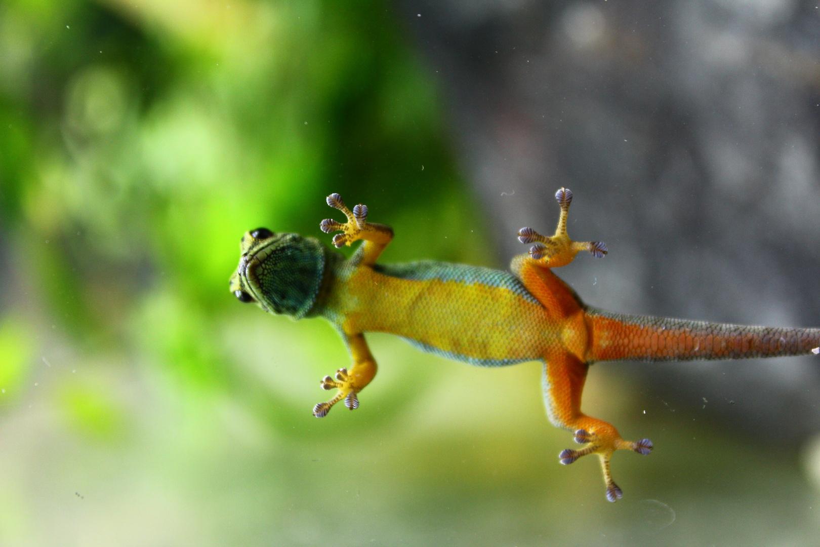 Gecko mit Durchblick