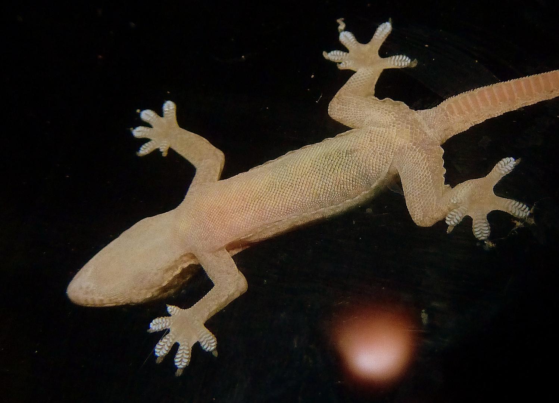 Gecko mit high-tec-Sohlen