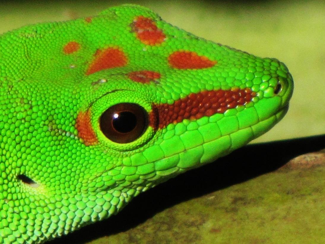 Gecko phelsuma madagascariensis- adulte