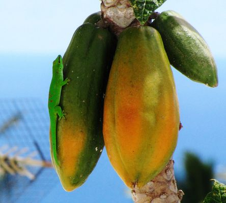 gecko phelsuma madagascariensis sur un papayer