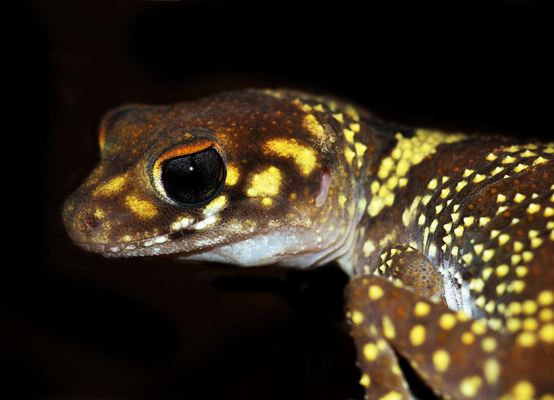 Gecko-Portrait Part 2