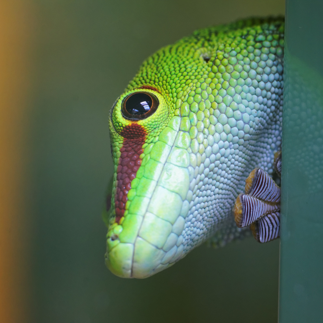 Gecko - Spezialist für glatte Flächen