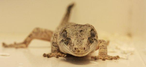 gecko tokaï