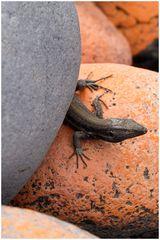 Gecko-Versteckspiel