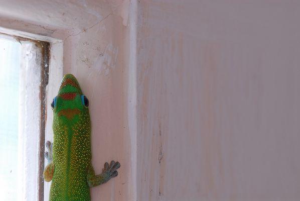 Gecko Visitor