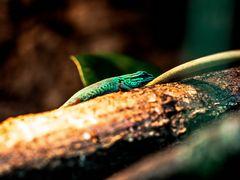 Geckos im Terra