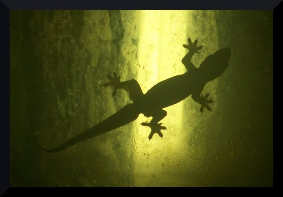 Geckos in Thailand