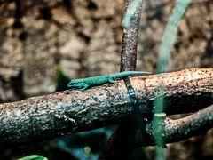 Geckos in unserem Terra