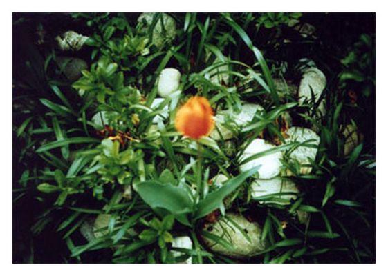 ...gecrosste tulpe...