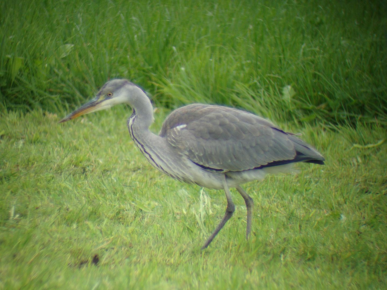Gediciscopter Grey Heron:-)