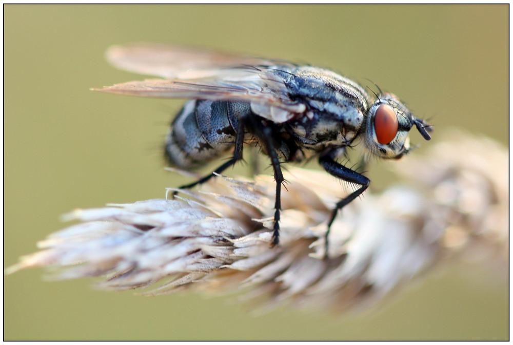 Gedreide mit Fliege