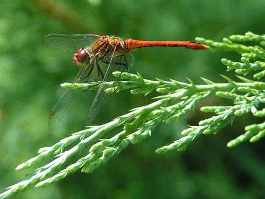 Geduldige Libelle