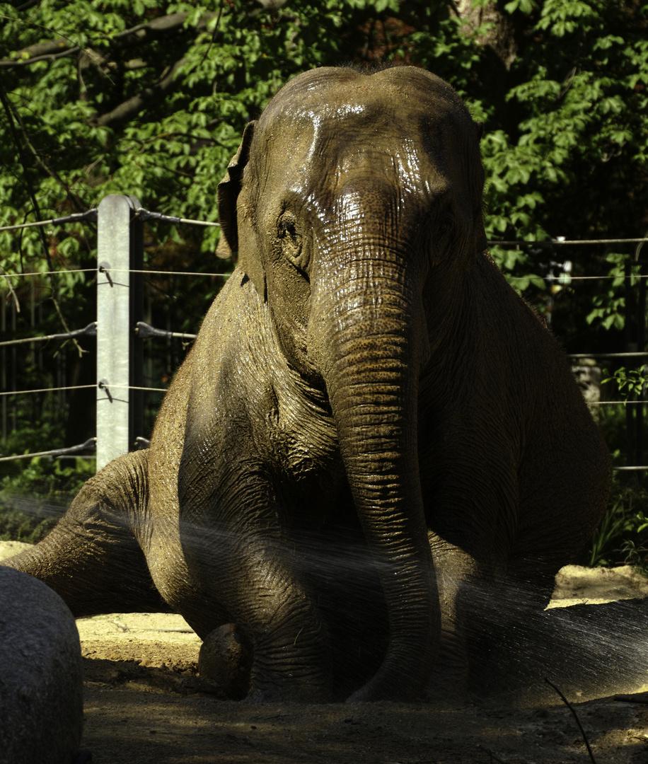 geduschter Elephant im Zoo Karlsruhe