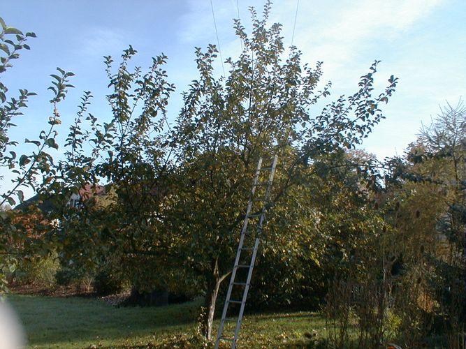 Geernteter Apfelbaum
